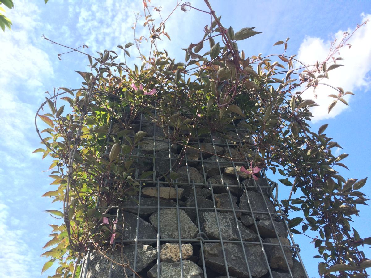 Gabione-Kletterpflanze